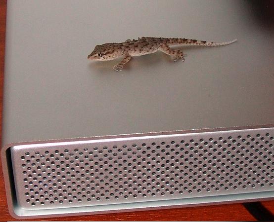 Gecko auf HD